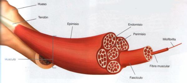 Así es un músculo por dentro