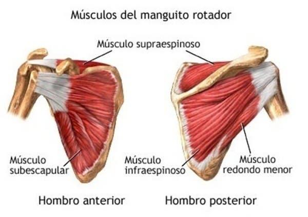 Músculos rotadores