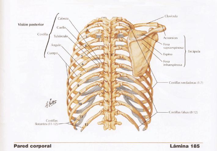 cara posterior de torax