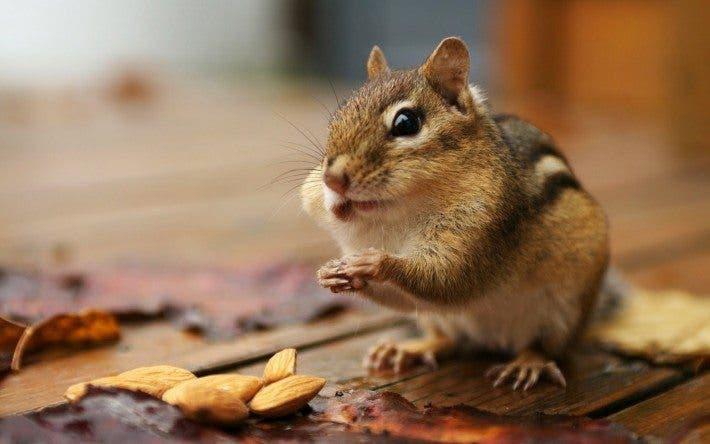 Ardilla comiendo almendras