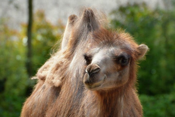 riesgos de la leche de camella