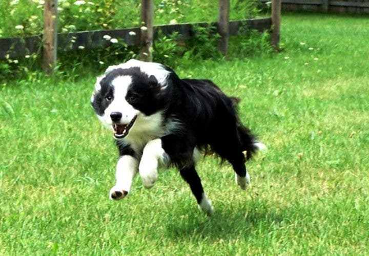 Border collie para correr al aire libre
