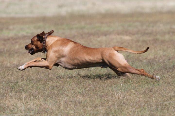 Las mejores razas de perro para hacer running