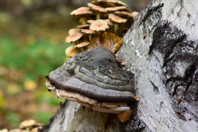 Guía de los hongos de chaga