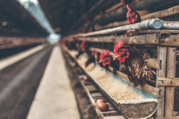 Peligros de los huevos de gallinas criadas en jaula