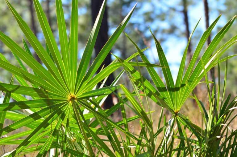 4 beneficios prometedores del saw palmetto