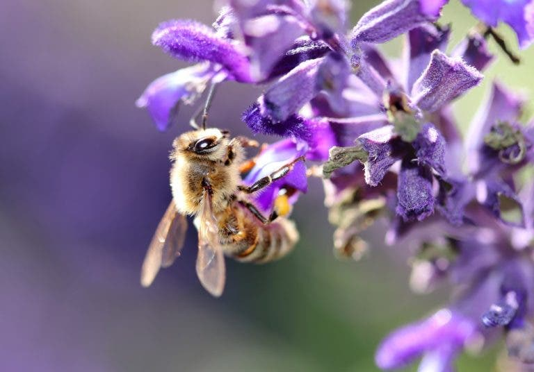 7 beneficios emergentes del té de salvia