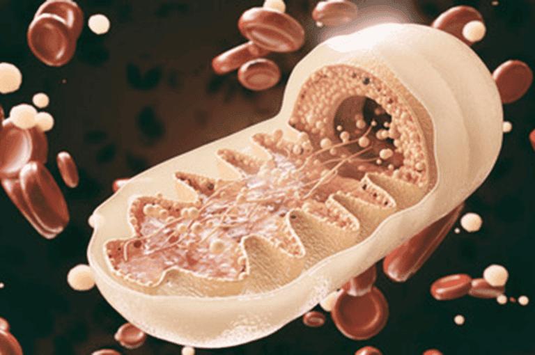 Mitocondrias ¿qué son y qué función cumplen en el organismo?