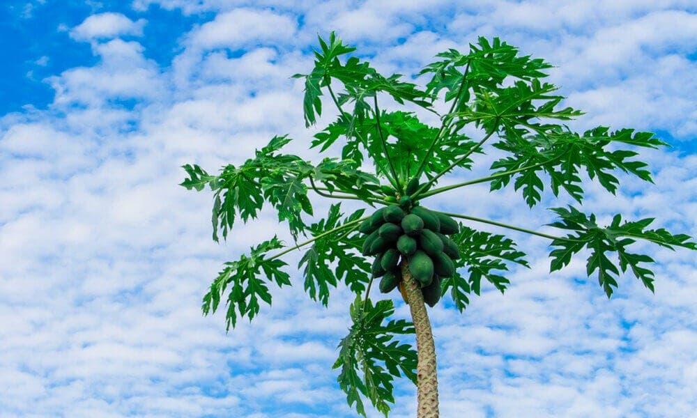 Propiedades medicinales de la papaya
