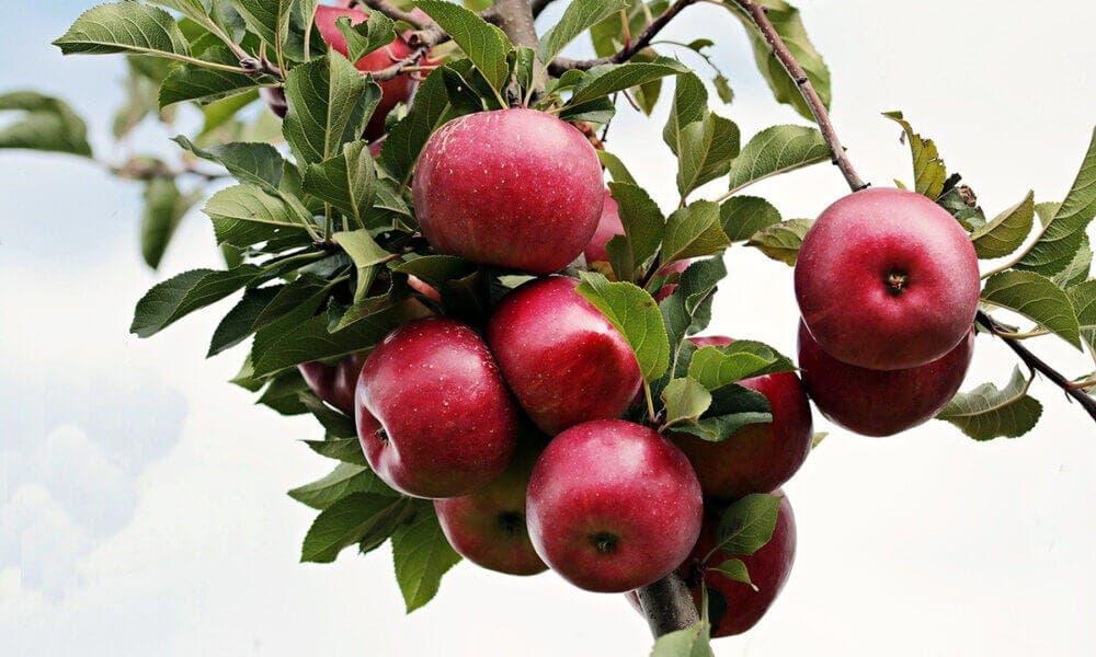 Beneficios que aportan las manzanas al incluirlas en la dieta