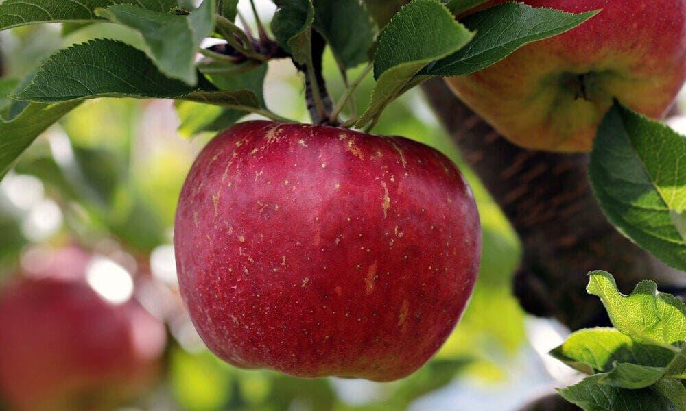 Beneficios que aportan las manzanas a la salud de los oídos