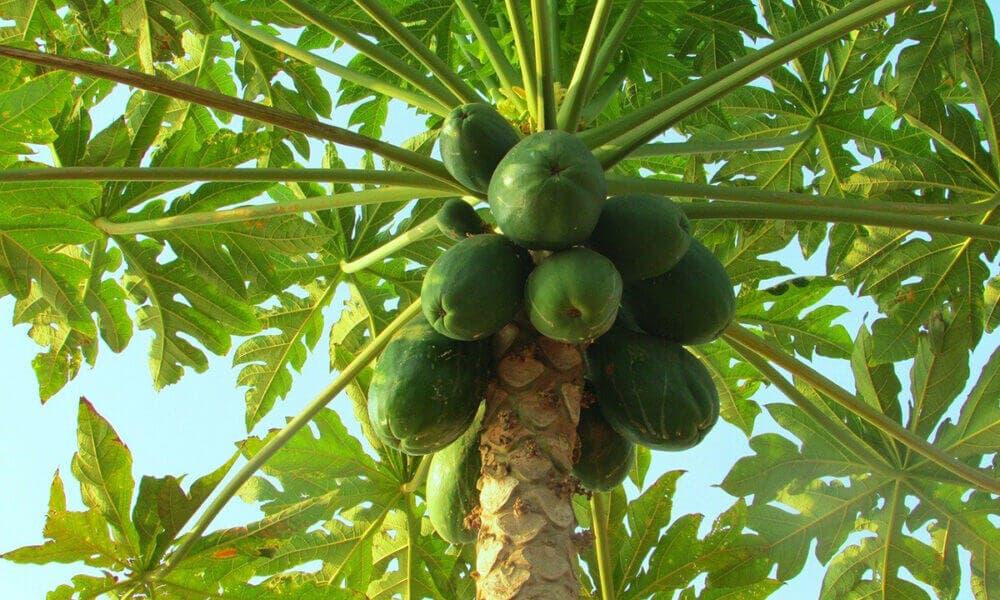 Beneficios que aporta la papaya al organismo al incluirlo en tu dieta