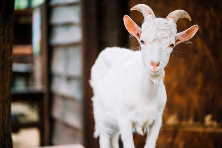 Beneficios de la leche de cabra