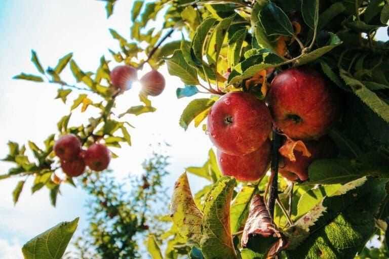 beneficios cáscara de manzana